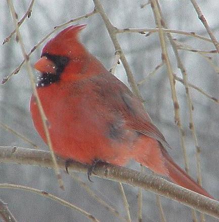 Wv State Bird West Virginia State Notebook