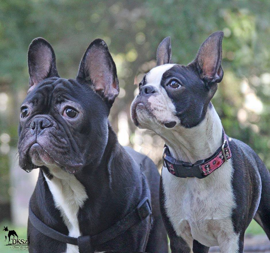 boston terrier and french bulldog boston vs francia abostonterrier 423
