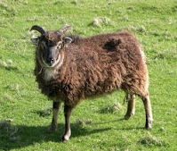https://sites.google.com/a/agcharter.org/agcs-micro-farm/shetland-sheep-1/Shetland%205%20Soay%20Ewe.jpg