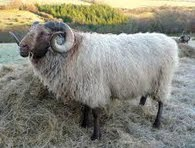 A Long-Coated Shetland Ram