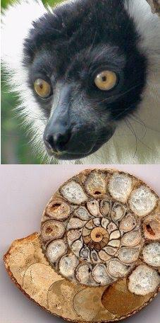 lemurien-amonite
