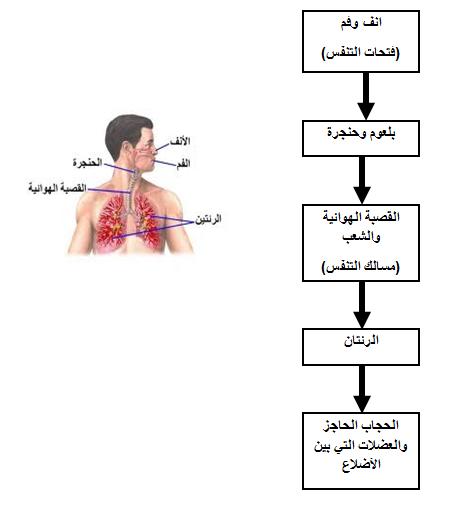 اجهزة جسم الانسان للصف الرابع