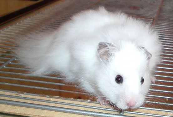 white dwarf hamsters with red eyes - photo #36