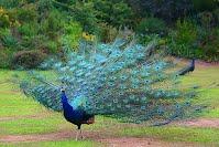 https://sites.google.com/a/archerelementary.com/animal/animalreports2/peacock