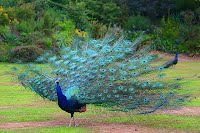 https://sites.google.com/a/archerelementary.com/animal/animalreports2/peacock