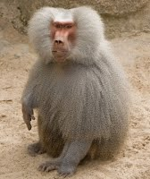 https://sites.google.com/a/archerelementary.com/animal/animalreports2/baboon