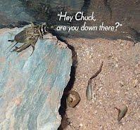 Bark Scorpion - Sonoran Desert Detectives