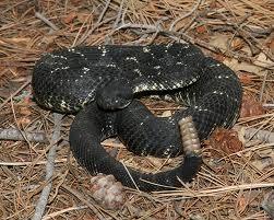 Arizona Black Rattlesnake Sonoran Desert Detectives