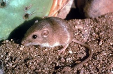 Just Like Many Other Desert Rodents The Arizona Pocket Mouse Lives In A Burrow Or Small Hole Dug Deep Into Ground Down Their Burrows