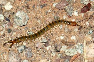 Common Desert Centipede Sonoran Desert Explorers
