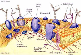 cell membrane the almighty cell
