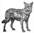 Wolves - English