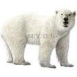 Polar Bear English