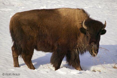 A Bison Eats Diet - Pawnee