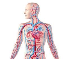 Circulatory System - Human Body Systems