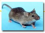 http://sheppardsoftware.com/content/animals/animals/mammals/mouse.htm