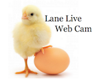 Lane Chickens YouTube