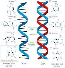 Nucleic acid nucleic acids examples: – rna (ribonucleic acid.