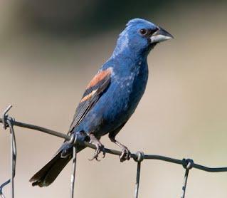 Blue Jay Wings Folded