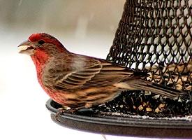 FINCHES, GROSBEAKS, SISKINS - birds of colorado
