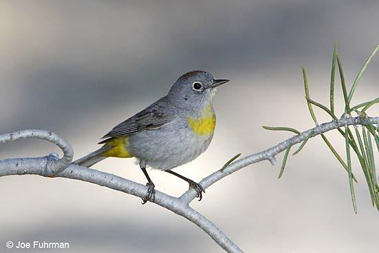 Grey bird with yellow breast