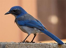 Blue Birds Of Colorado