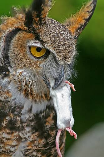 Image of: Horned Owl Some Owls Do Not Hoot Instead They Make Long Eerie Screech They Also Hiss Snore And Yap Google Sites Nocturnal Animals