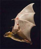 Bat Flight Research - Fluid Mechanics @ Brown