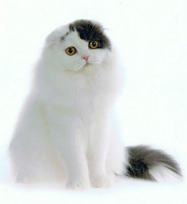 Scottish Long Haired Cat