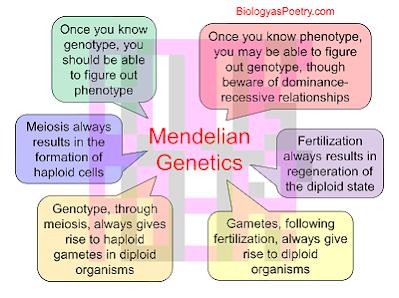 Bozeman Science Mendelian Genetics Worksheet: Unit 10 Mendel and Meiosis   Mr  Little AP Biology,