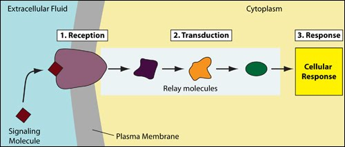 Cell signaling | Biology | Science | Khan Academy