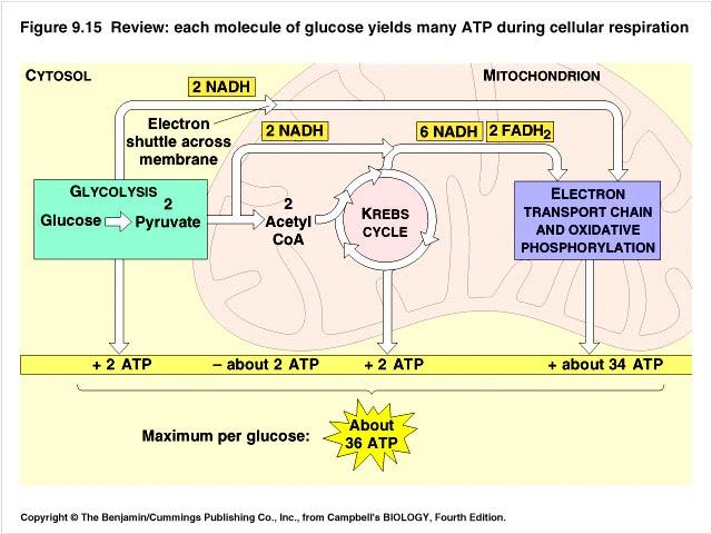 Unit 3 Bioenergetics - Mr. Little AP Biology