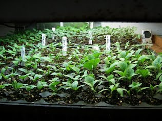 Using Artificial Light Of Any Kind But Mostly Fluorescent Would Effect The Growth A Plant Because If Is Taken Care With Water And Sunlight