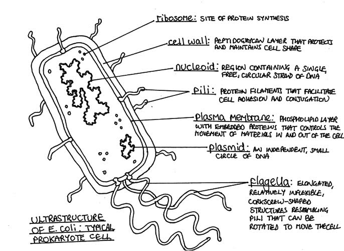 Line Art Quizlet : Ultrastructure of cells sl hl biology ferguson