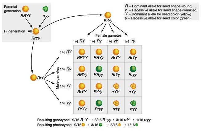 10 2 dihybrid crosses  u0026 gene linkage  hl2 biology ferguson