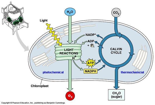 83 photosynthesis slhl 1 biology 7 ferguson ccuart Choice Image