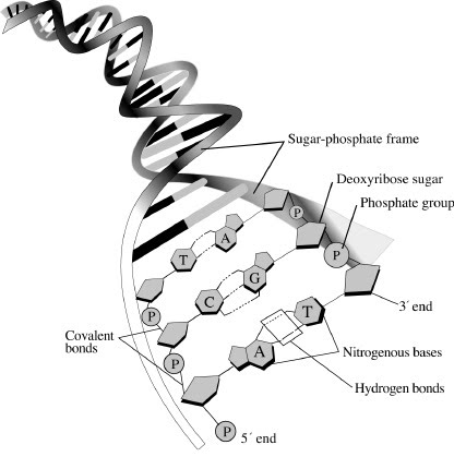 7 1 Dna Structure And Replication