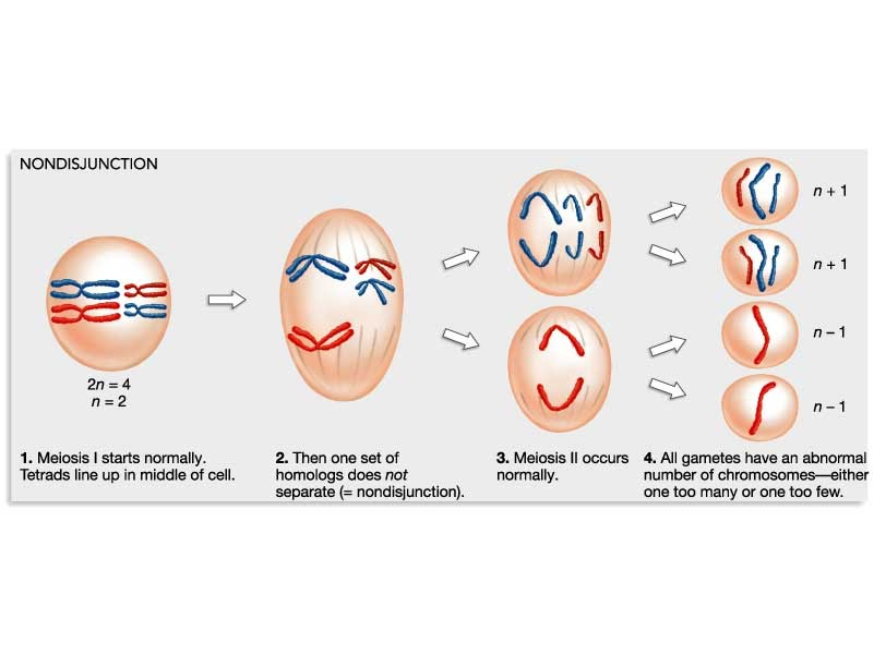 an analysis of the down syndrome and the cell division error Following dna replication, cells enter meiosis, with each chromosome being composed of two chromatids held together at the centromere  further cell division resulting in four potential haploid gametes from each parent cell:  evaluation of the efficacy of ai segregation can be made by chromosome analysis of cells at the mii stage.