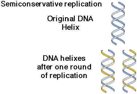 dna replication sl hl biology ferguson  and one newly made strand from nucleotides in solution using the parent strands as templates and base pairing rules a t g c to match newly