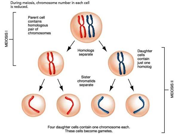 33 meiosis slhl 2 biology 8 ferguson lecture notesunderstandings ccuart Gallery