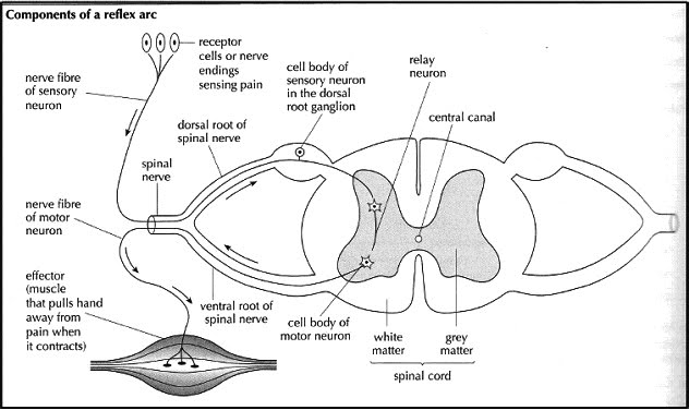E1 stimulus response reflex arc image ib biology 2010 12 retrieved june 1 2012 from httpib biology2010 12spacesbrainanatomyneuronstructureandfunction ccuart Image collections