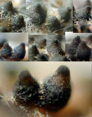 sordaria finicola lab report Mitosis and meiosis: onion root tips and  transcript of mitosis and meiosis: onion root tips and sordaria  cells in mitotic phase lab 7: onion root tips and.