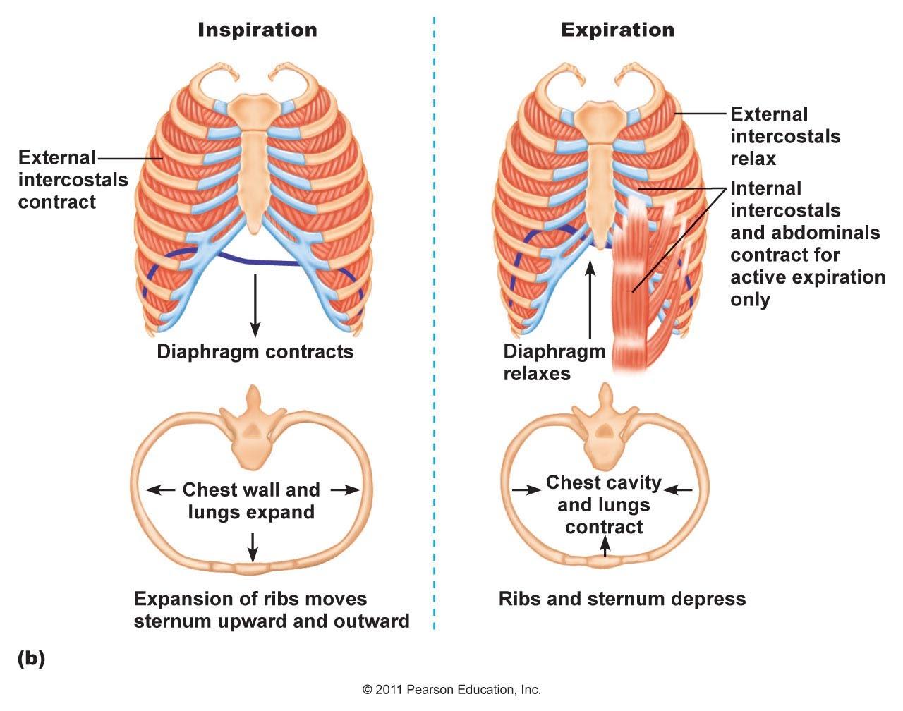 6.4 gas exchange ventilation diagram lungs  google sites