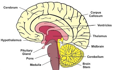 A2 the human brain slhl 2 biology 8 ferguson skill identification of parts of the brain in a photograph diagram or scan of the brain ccuart Images