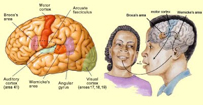 A2 the human brain slhl biology application visual cortex brocas area nucleus accumbens as areas of the brain with specific functions ccuart Images