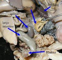 Frog study module internal organs 5 ccuart Gallery
