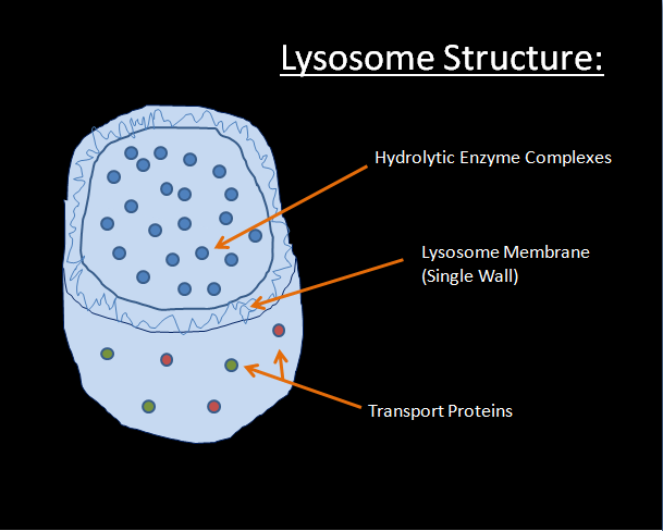 Lysosomes - EMAC Cell Site Pointer