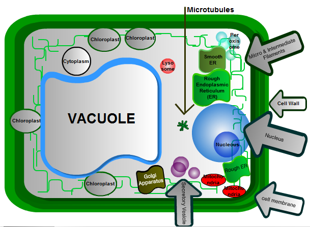 chloroplasts tutoring site for cells and cellular processes