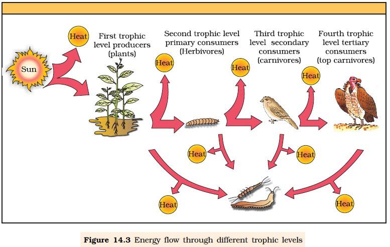 Food Web Flowchart Examplep