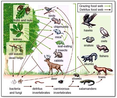 Temperate woodland food web